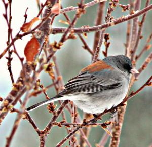 Wildbird Winter Junco Profile Featured In Winter Contest